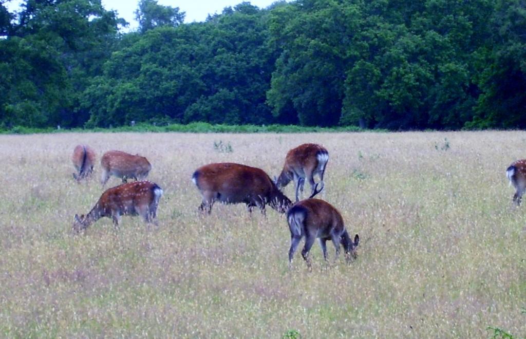 Sika Deer 2
